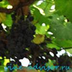 черные сорта винограда